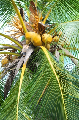 coconut-tree_antpkr